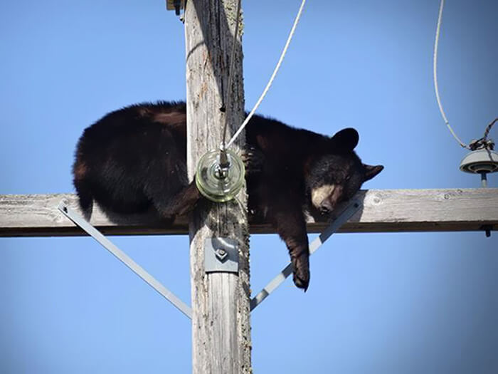 bear-sleeping-telephone-pole-21448-19439.jpg