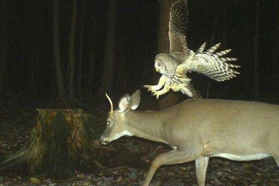 owl-attacks-deer-50950-24053.jpg