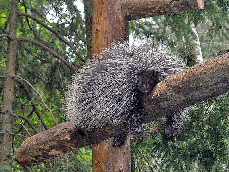 porcupine-90691.jpg