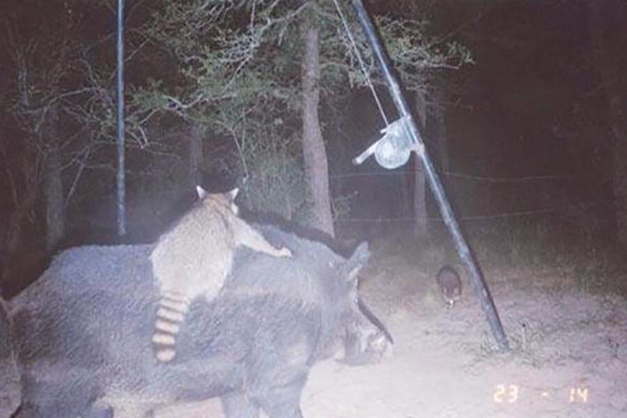 raccoon-and-swine-16684-58038.jpg