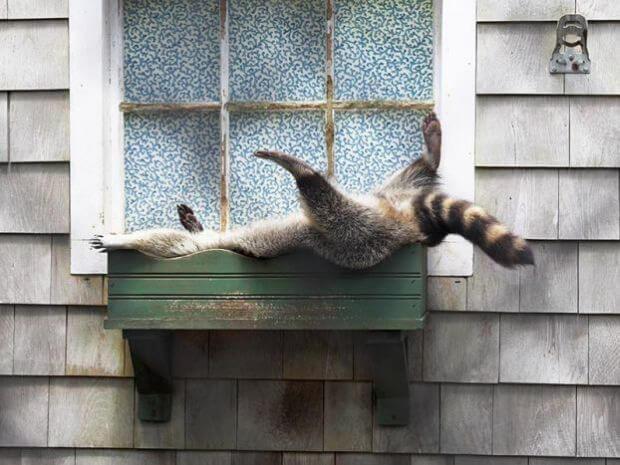 raccoon-asleep-21450-94953.jpg