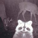 raccoon-selfie-22299-125x125-92977.jpg