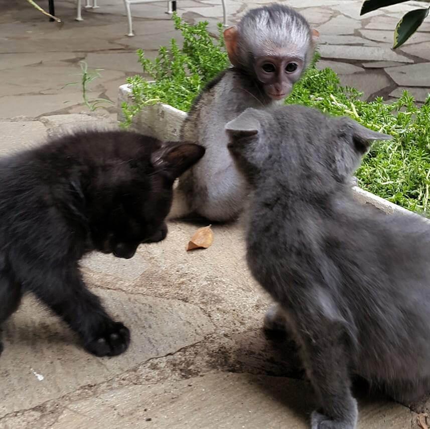 3-orphaned-baby-monkey-makes-unlikely-friends-horace-67280-92022
