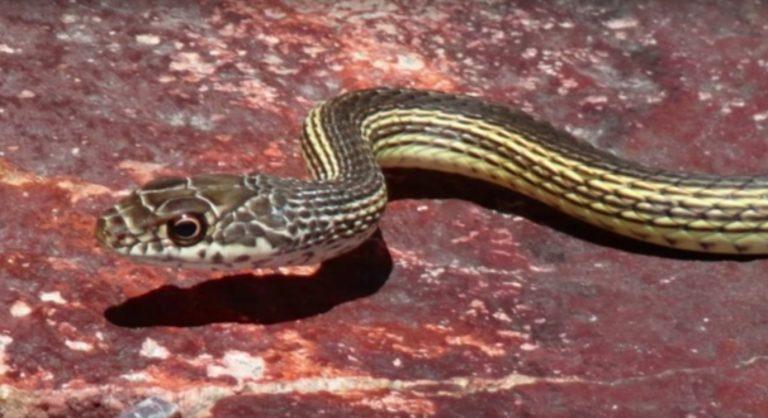 khan-snake-768x418