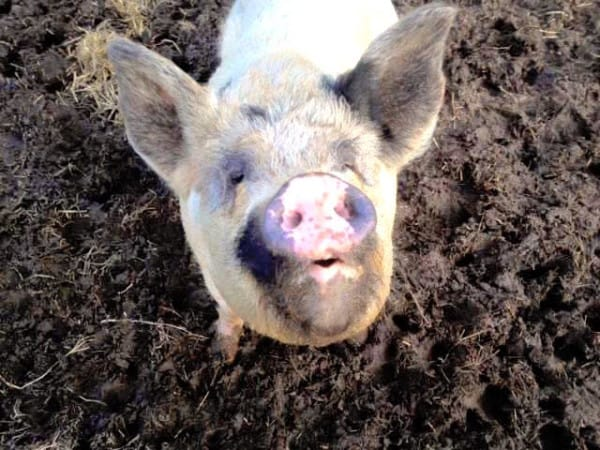 pig looking up