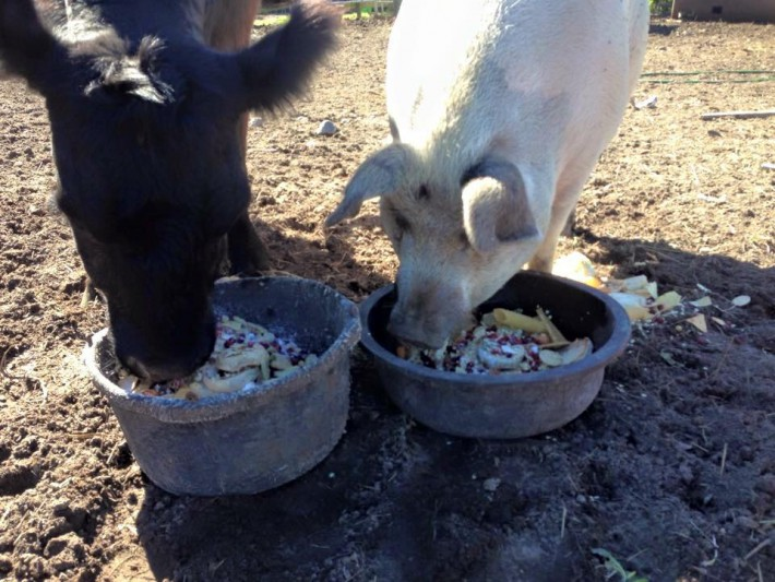 cow and pig eating together