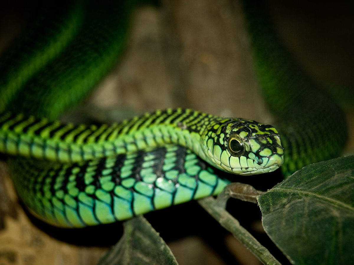 boomslang snake in Ngorongoro Conservation Area Tanzanie