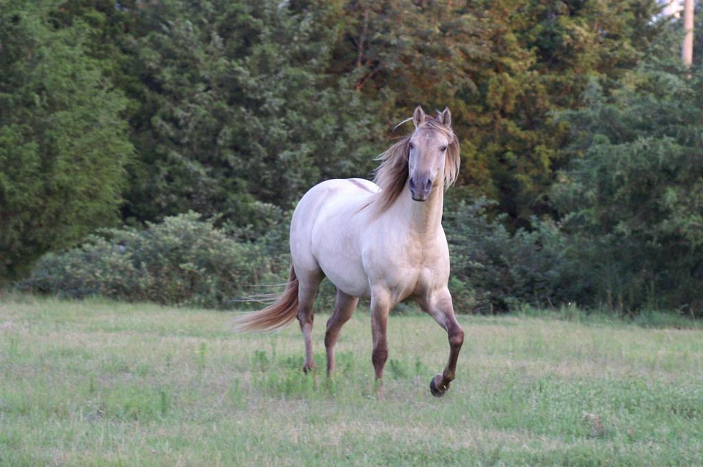 Grullo Dun horse