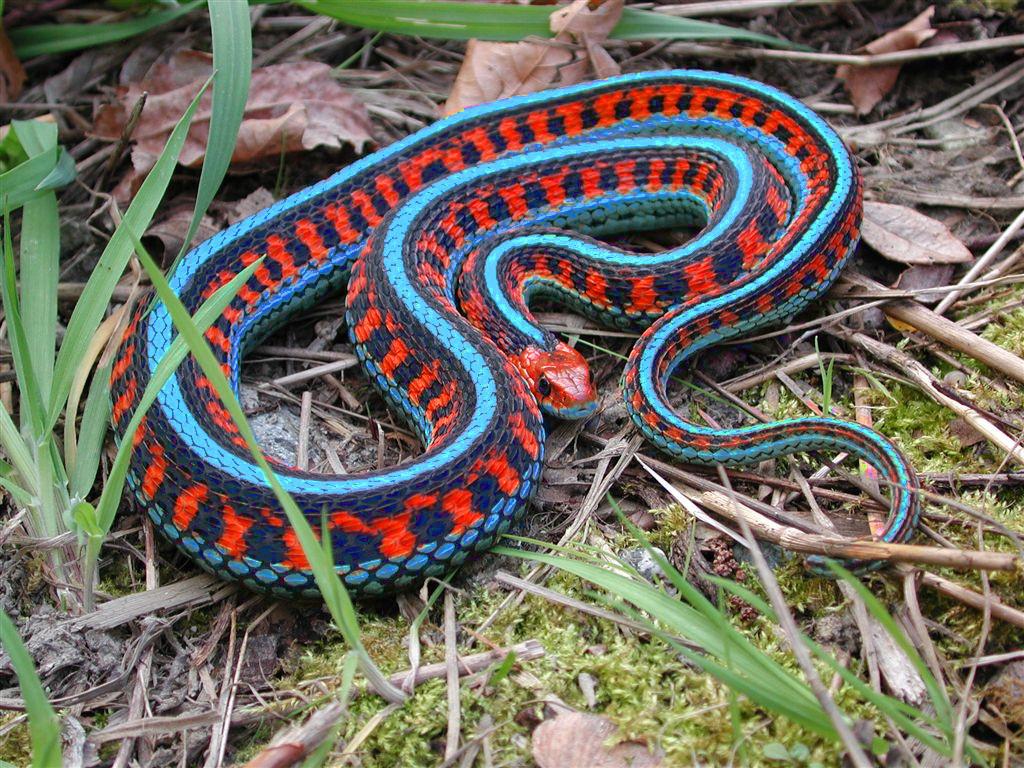 blue malayan coral snake killers killer