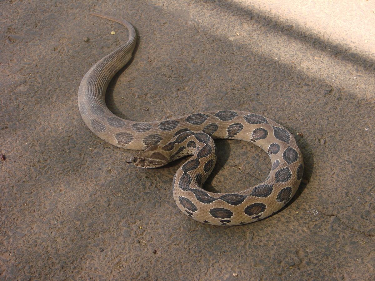 Daboia russelii snake russells viper