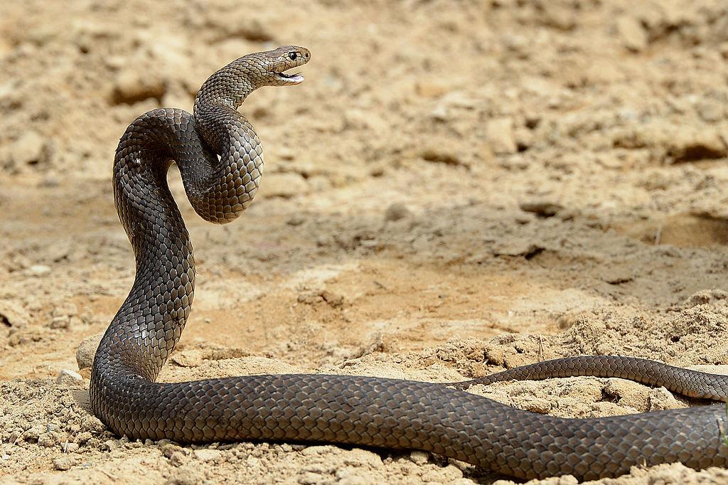 a deadly Australia eastern brown snake
