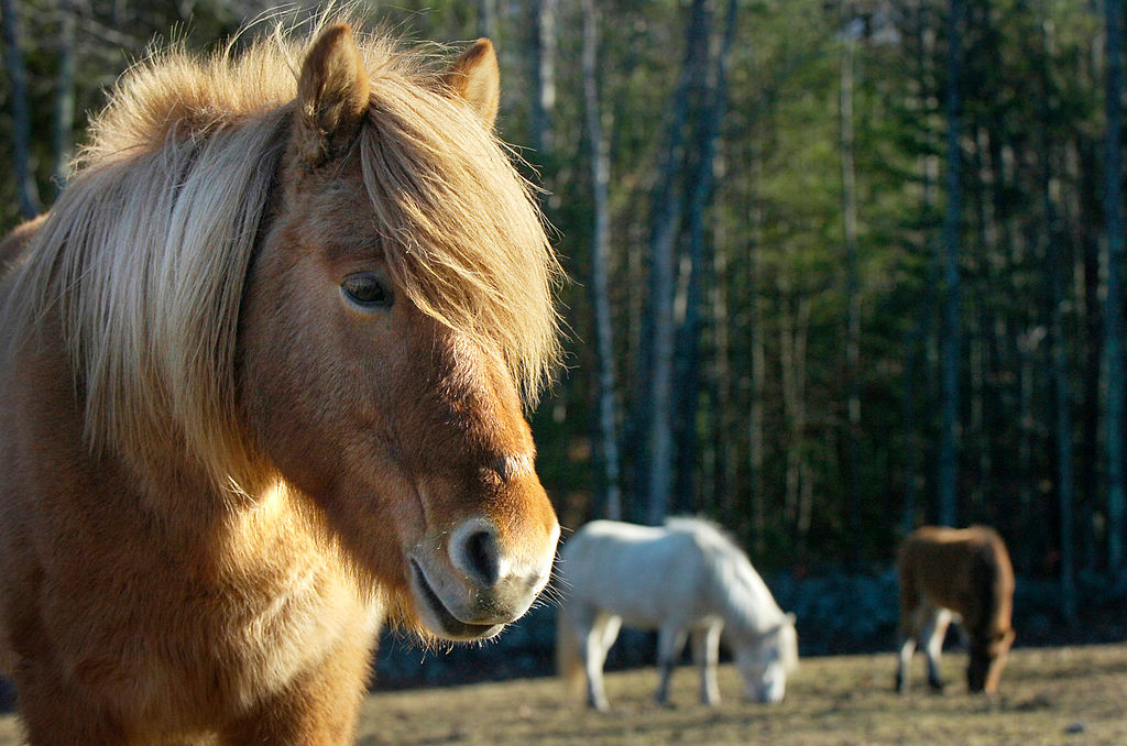 Standard bred  horse