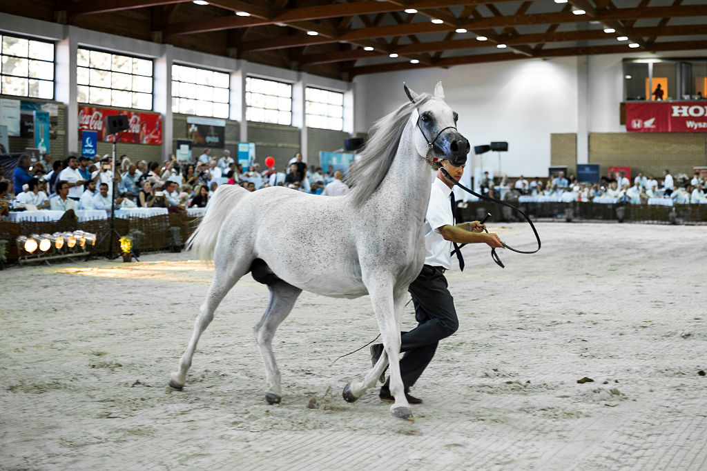arabian horse breed