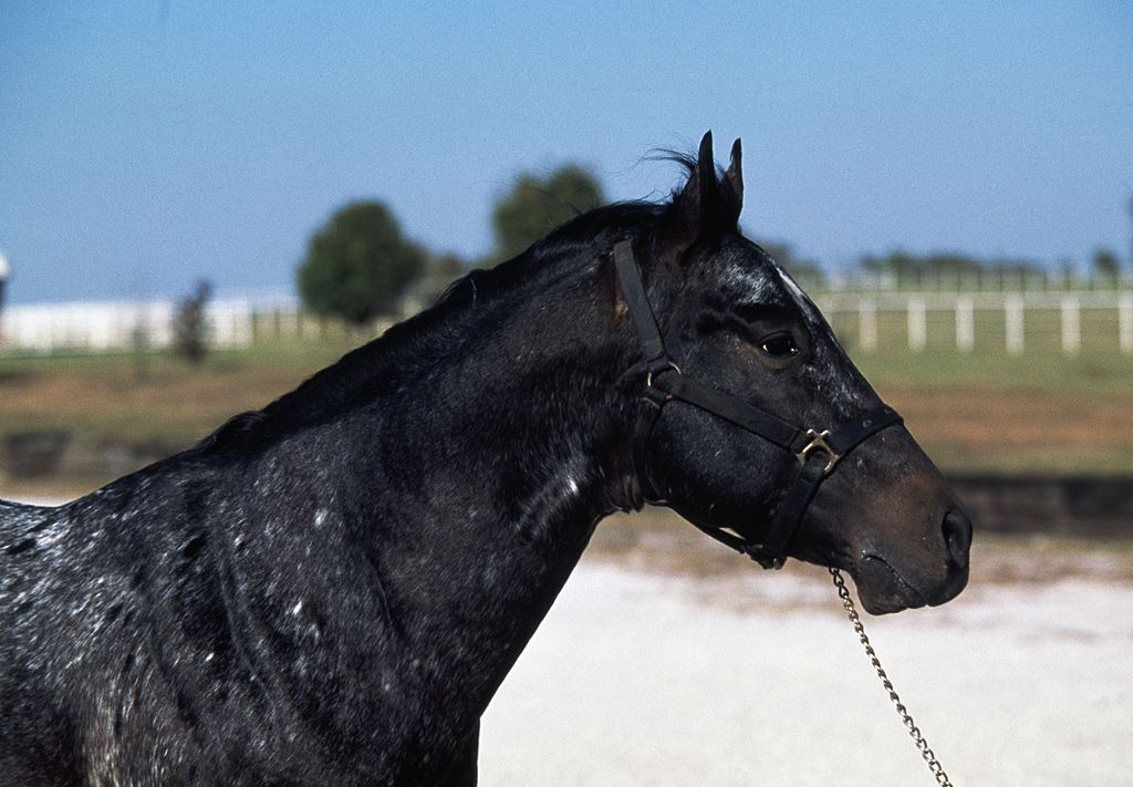 Appaloosa horse close up view