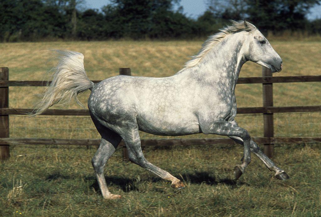 Arabian or Arab horse dapple grey