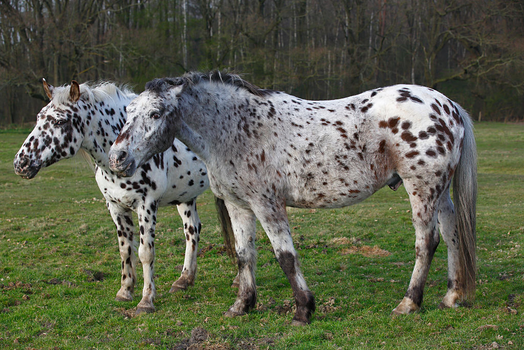 Appaloosa horses stand together