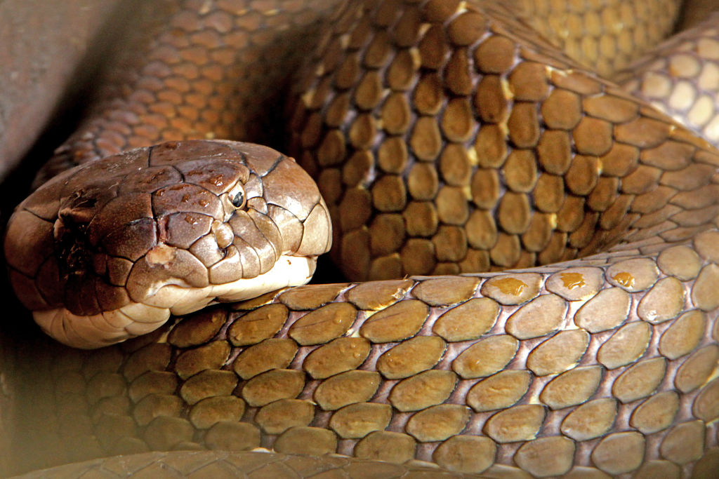King Cobra, about three to four meters long