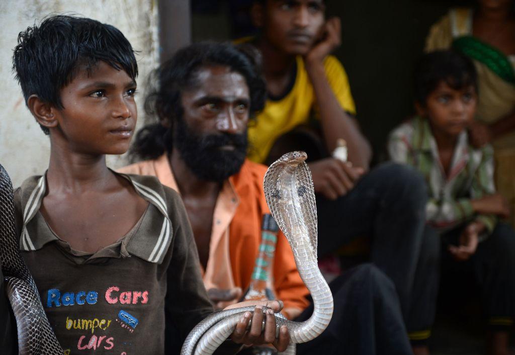 indian cobra snake Indian snake charmer holds a cobra snake