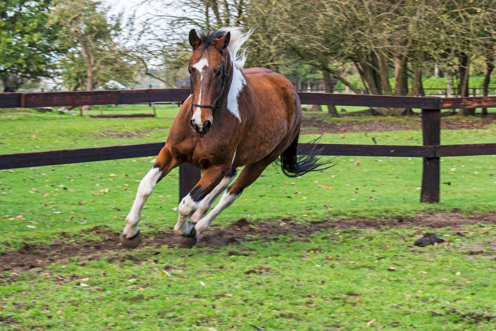 Quarter Horse run