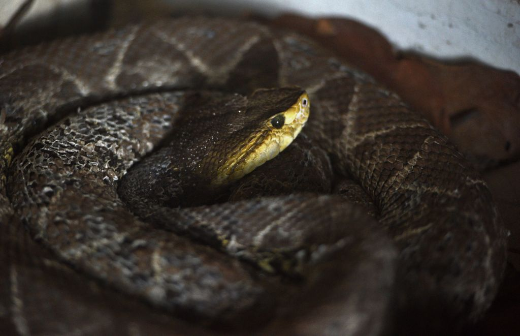 common lancehead snake seen at the Rosy Walter zoo