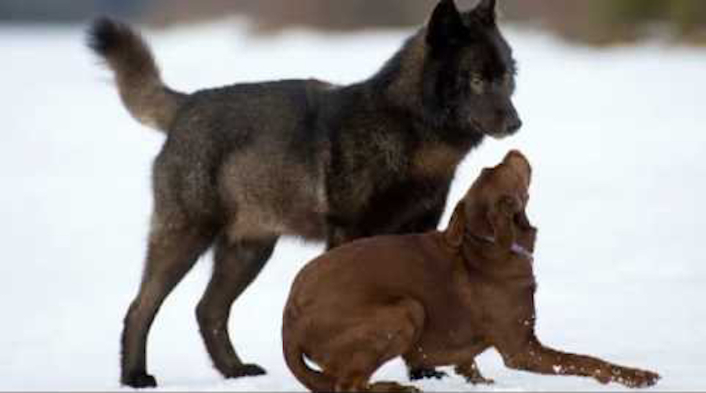 dog and wolf playing