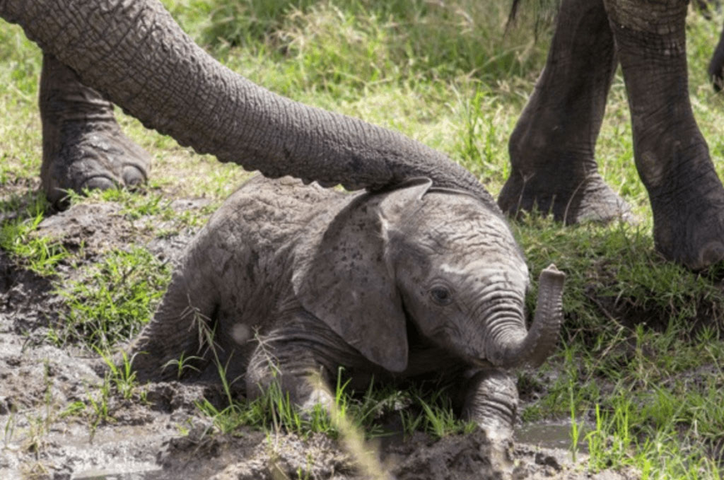 baby-elephant-stuck-in-the-mud-36955