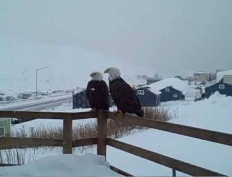eagles-on-alaska-porch