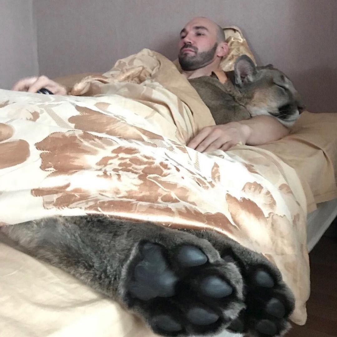 puma housecat sleeping in bed beside owner