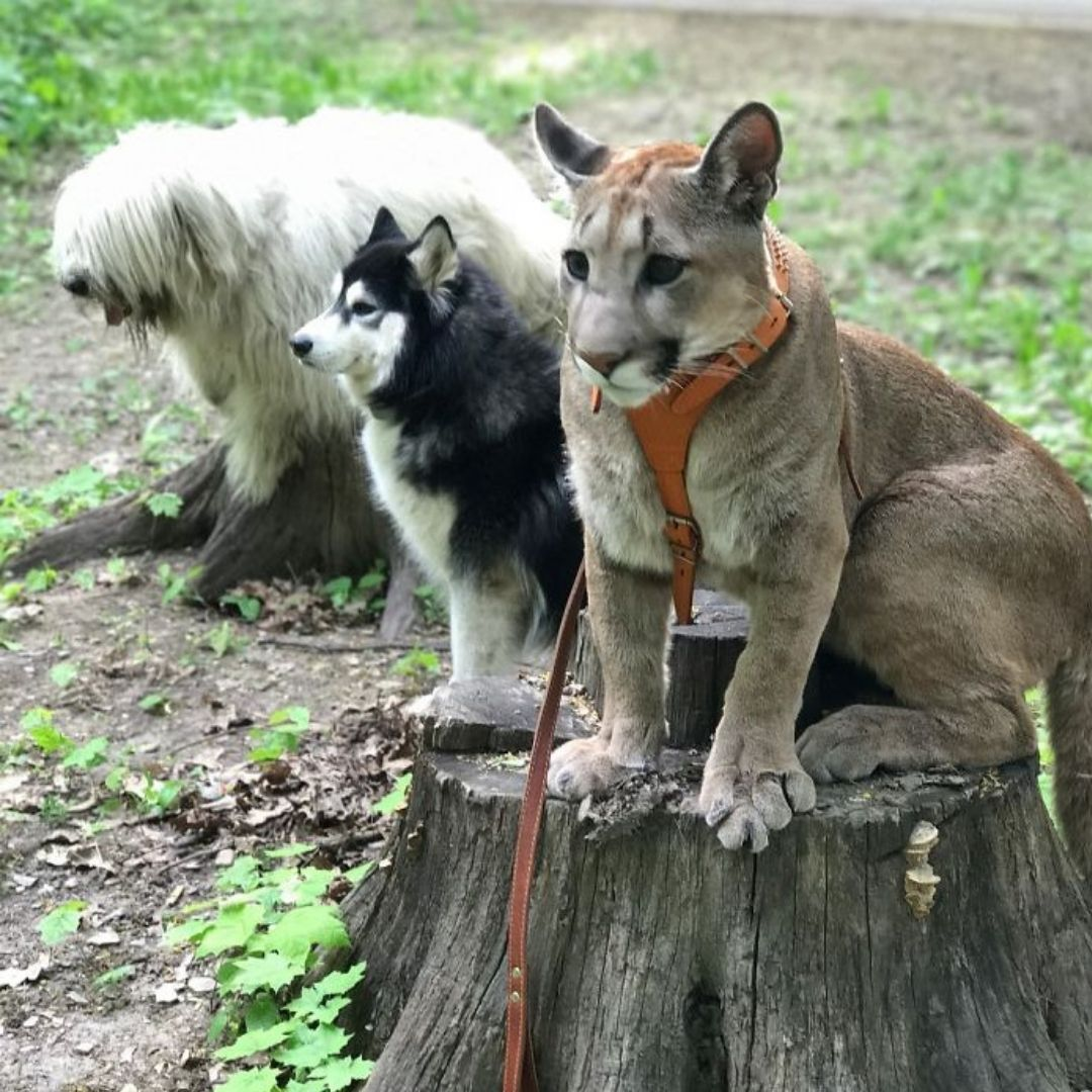 puma housecat sitting on a stump beside two dogs
