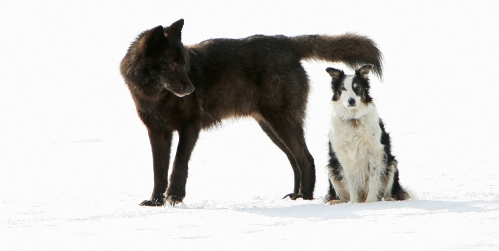 dog with wolf