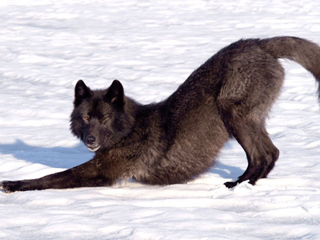 romeo wolf in the snow