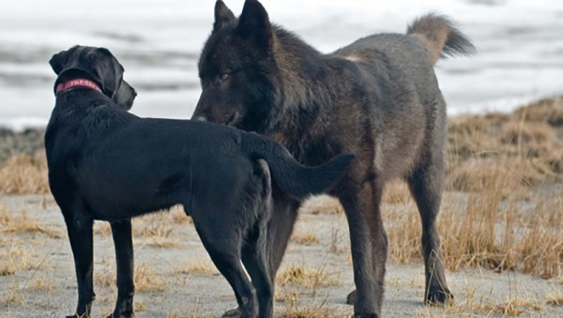 wolf-meets-dog-4-35495