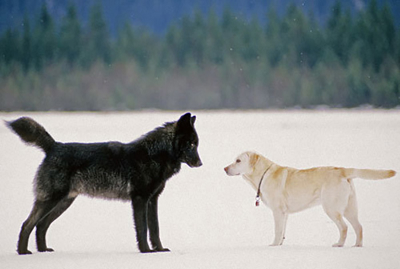 wolf-meets-dog-5-60365