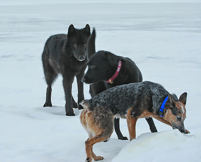wolf-meets-dog-6-44002