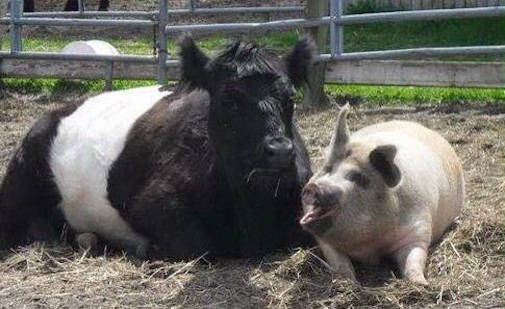 01-blind-cow-pig-calf-baby-lulu-e1505236874874-13476
