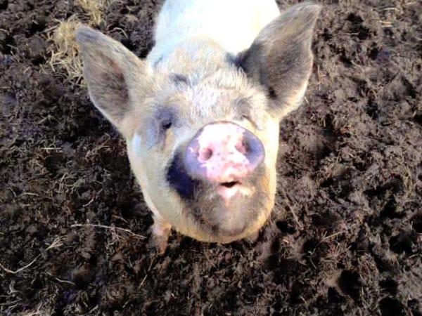 08-blind-cow-pig-calf-baby-lulu-36894