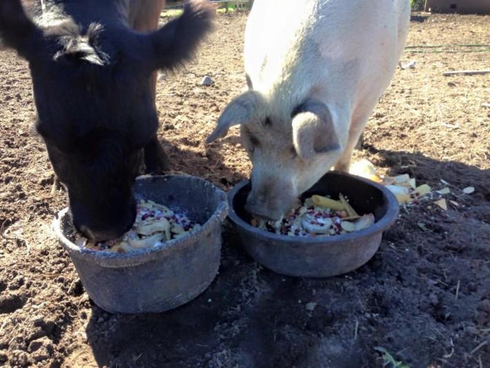 09-blind-cow-pig-calf-baby-lulu-710x533-58350
