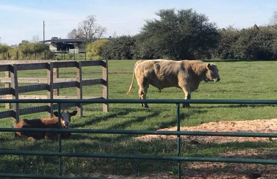 17-hurricane-harveigh-other-cows-62340