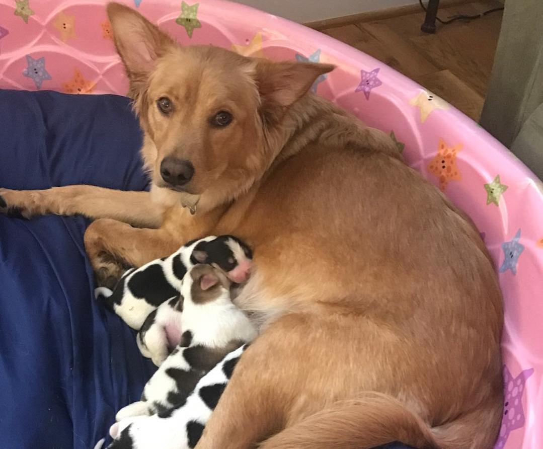 Rosie feeding her cow puppies