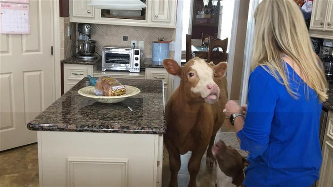 cow6-56716
