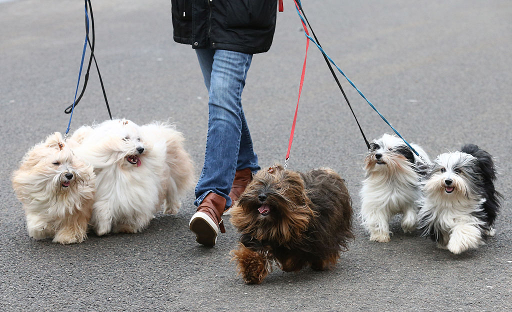 GettyImages-514605234-99799-28566 havanese dogs