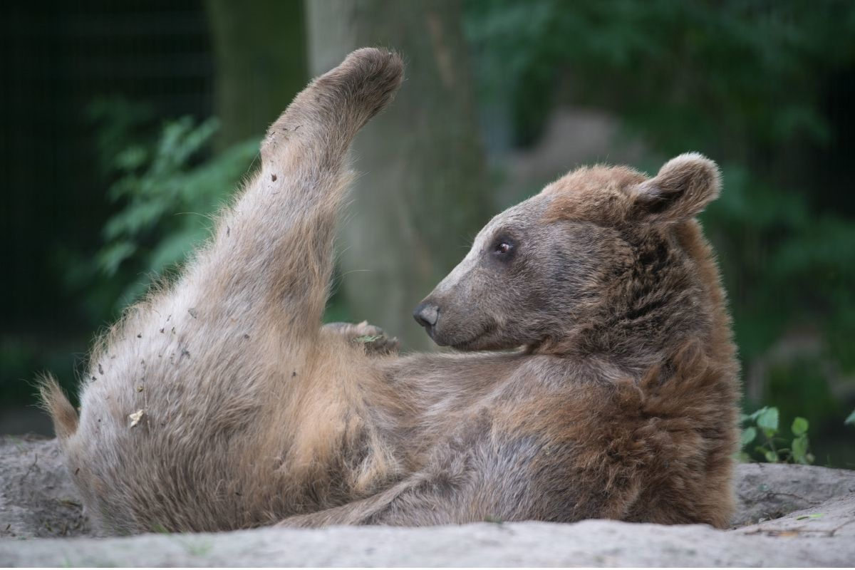 Brown Bear with one leg up