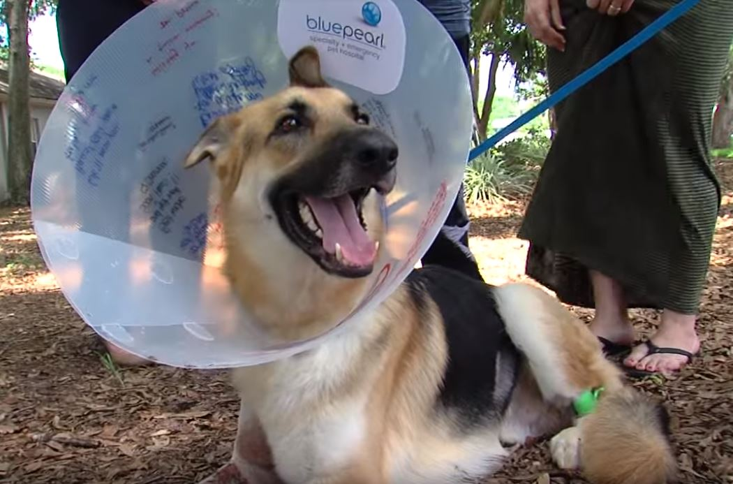 Haus in a BluePearl veterinary cone