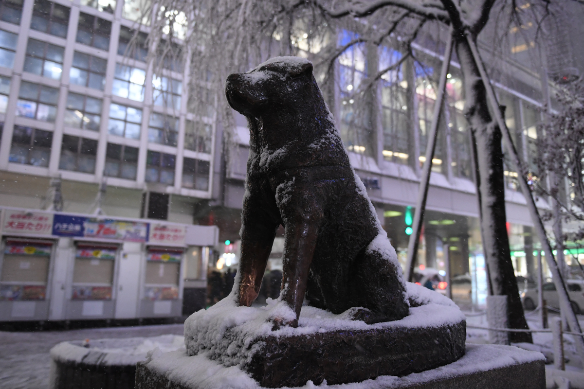 Hachi is waiting during snow