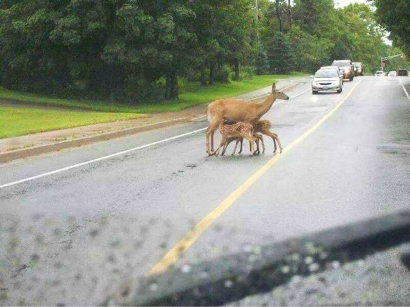 momma deer feeding babies