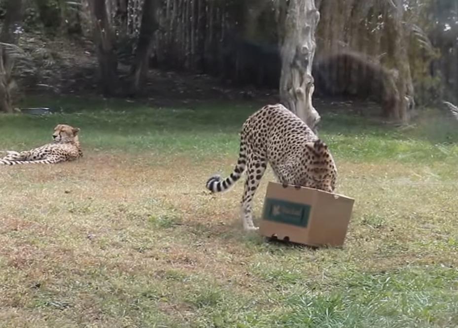 Cheetah gets his head stuck in a cardboard box.