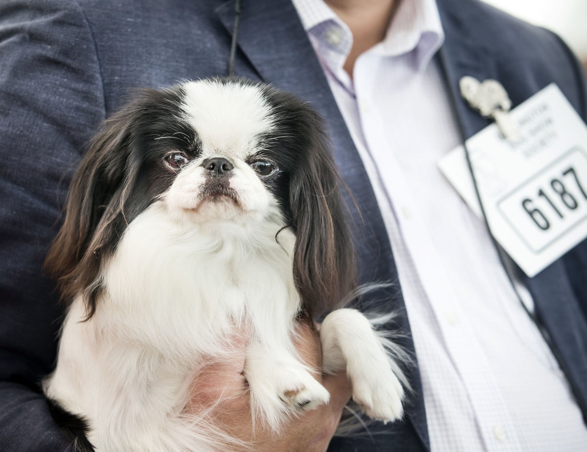 Owner holds a Japanese Chin during the Darlington Dog Society Annual Show