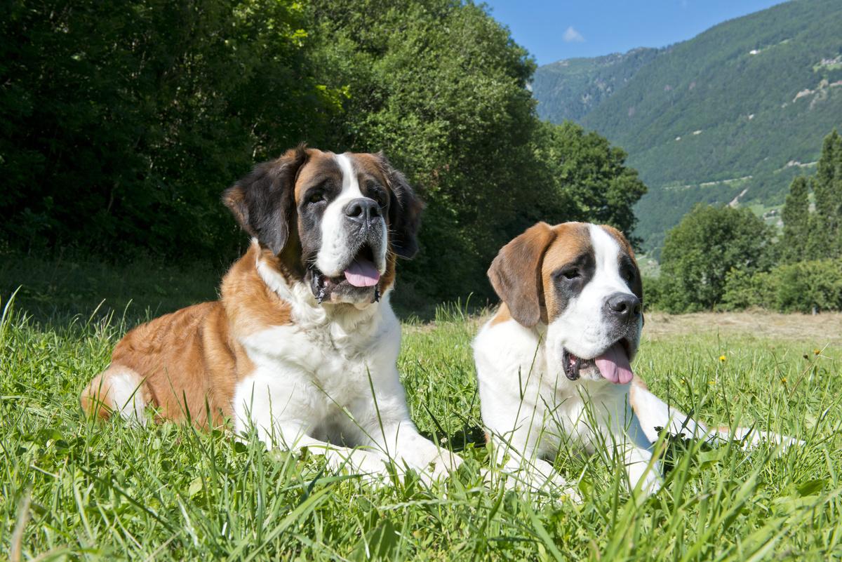 Two Saint Bernards sit in the grass in Switzerland.