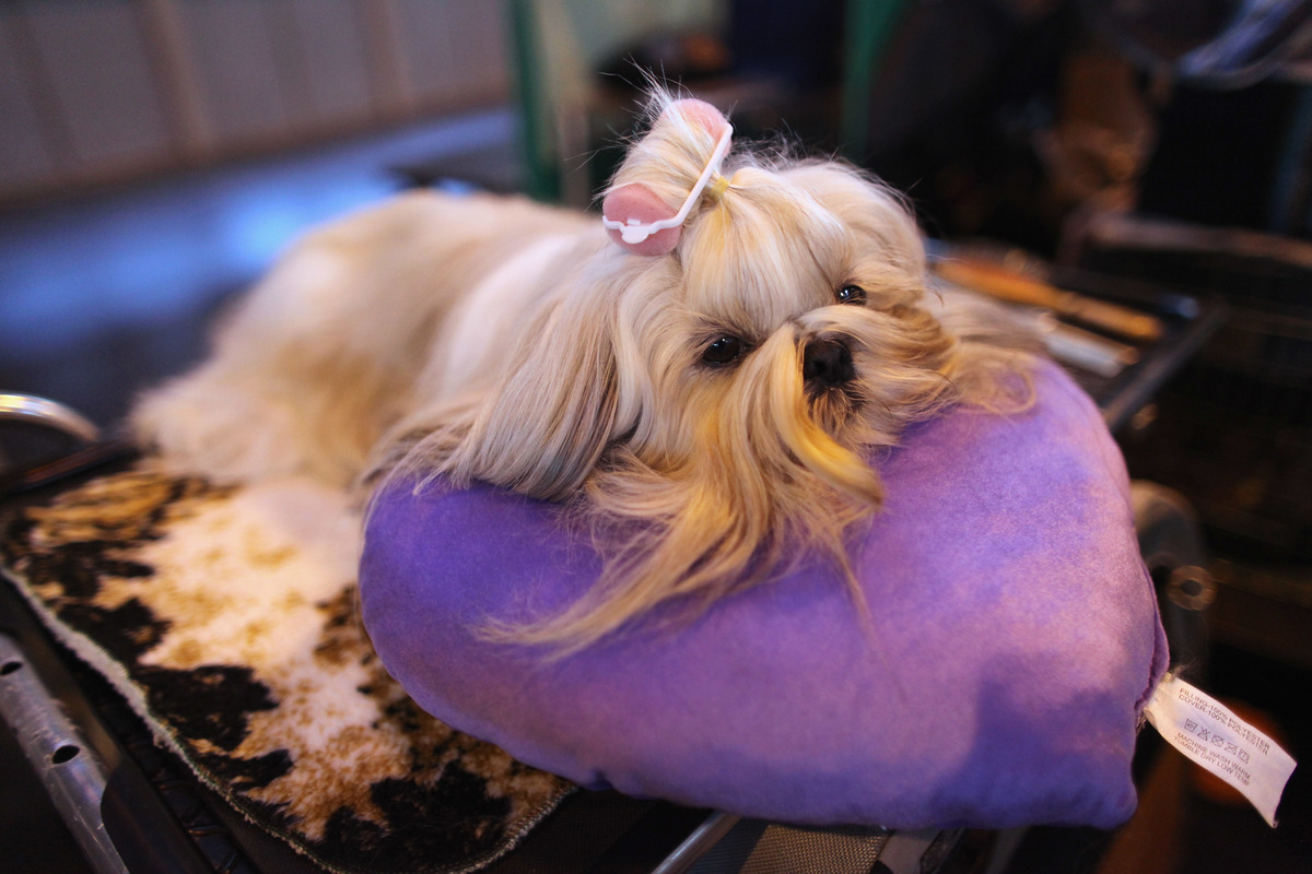 A Shih Tzu dog waits to be groomed before it is judged on the final day of the annual Crufts dog show