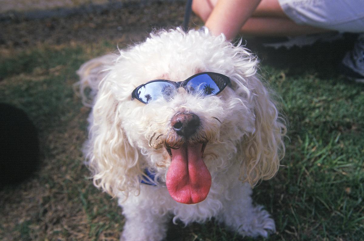 A Cockapoo wears sunglasses t the Doo Dah Parade in Pasadena, California.